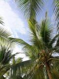Albero di noce di cocco Immagini Stock