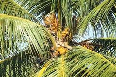 Albero di noce di cocco con la frutta ed i fiori Fotografia Stock