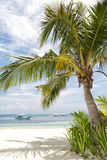 Albero di noce di cocco tropicale Fotografia Stock Libera da Diritti