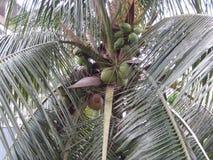 Albero di noce di cocco verde Fotografie Stock Libere da Diritti