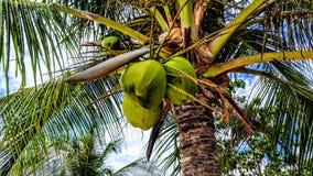 Albero di noce di cocco verde Immagine Stock