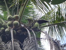 Albero di noci di cocco Fotografia Stock