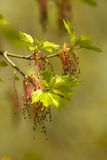 Albero di olmo in fioritura Fotografia Stock Libera da Diritti