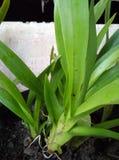 Albero di orchidea Fotografia Stock