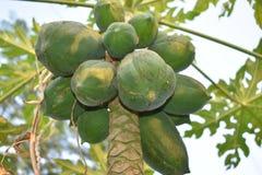 Albero di papaia fotografia stock
