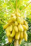 Albero di papaia Fotografie Stock