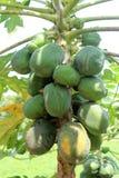 Albero di papaia Fotografia Stock Libera da Diritti
