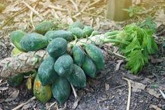 Albero di papaia che cade dalla forza del vento, fruttuosa Fotografia Stock Libera da Diritti