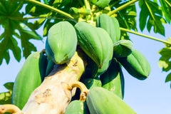 Albero di papaia con i frutti della papaia Immagini Stock