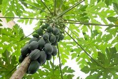 Albero di papaia con i frutti ed il ramo della papaia Immagine Stock