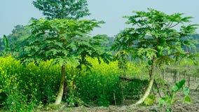 Albero di papaia due nell'agricoltura indiana Fotografia Stock