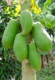 Albero di papaia in un frutteto della papaia Fotografia Stock