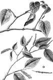 Albero di pepe Albero del betel illustrazione di stock