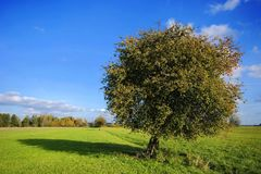 Albero di pera sul campo Immagini Stock Libere da Diritti