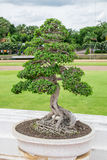 Albero di piegamento dei bonsai elegante Fotografia Stock