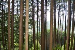 Albero di pini in una foresta Fotografia Stock
