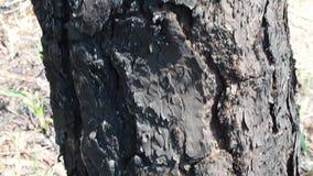 Albero di pino stock footage