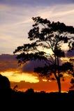 Albero di pino Fotografie Stock Libere da Diritti