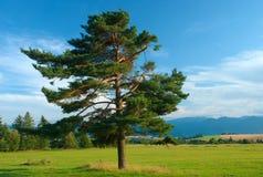 albero di pino Fotografie Stock