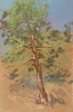 Albero di pino Fotografia Stock Libera da Diritti