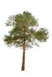 Albero di pino Fotografia Stock