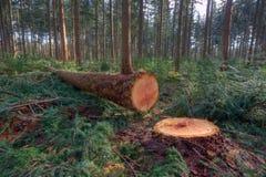 Albero di pino abbattuto Fotografia Stock