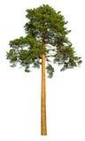 Albero di pino alto Fotografie Stock