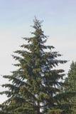 Albero di pino alto di natale Immagini Stock Libere da Diritti