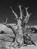 Albero di pino antico di Bristlecone Fotografia Stock