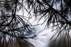 Albero di pino astratto fotografia stock libera da diritti