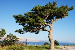 Albero di pino bizzarro Fotografie Stock