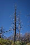 Albero di pino bruciato fotografia stock libera da diritti