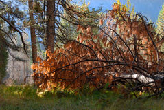 Albero di pino caduto in foresta Immagini Stock