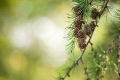 Albero di pino con i coni Fotografie Stock Libere da Diritti