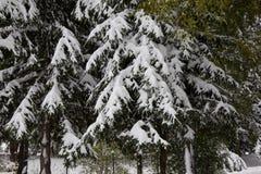 Albero di pino congelato Immagini Stock