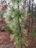 Albero di pino congelato Fotografia Stock