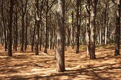 albero di pino della foresta Fotografia Stock Libera da Diritti