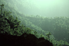 Albero di pino delle isole Canarie su La Palma Fotografia Stock