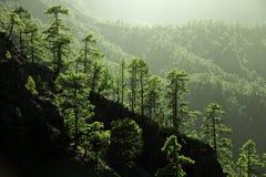 Albero di pino delle isole Canarie su La Palma Immagine Stock