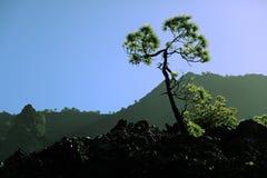 Albero di pino delle isole Canarie su La Palma Fotografia Stock Libera da Diritti
