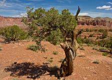 Albero di pino di Bristlecone fotografie stock libere da diritti