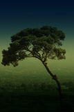 Albero di pino di pietra italiano Immagine Stock Libera da Diritti