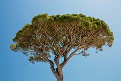 Albero di pino gentile Fotografie Stock