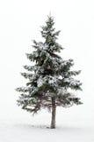 Albero di pino in inverno Fotografie Stock