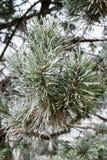 Albero di pino in inverno Fotografie Stock Libere da Diritti