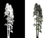 Albero di pino isolato fotografie stock