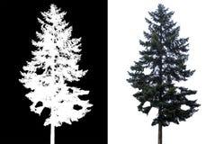Albero di pino isolato immagini stock libere da diritti