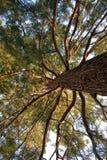 Albero di pino molto vecchio Immagini Stock