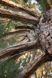 Albero di pino molto vecchio Fotografia Stock