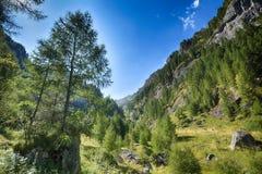Albero di pino in montagne Immagine Stock